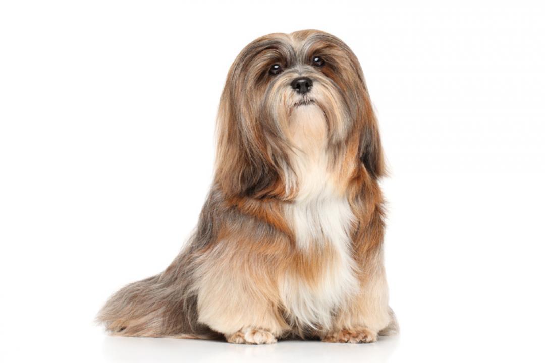 Bichon Frise & Lhasa Apso Pups for Sale | Brooknant Kennels